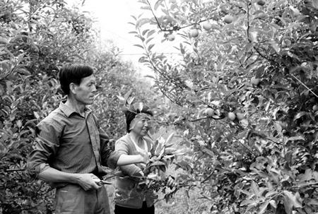 庆阳苹果产业矮化栽培发展扫描