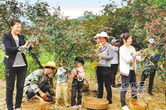 武都区郭河乡群众正在采摘花椒