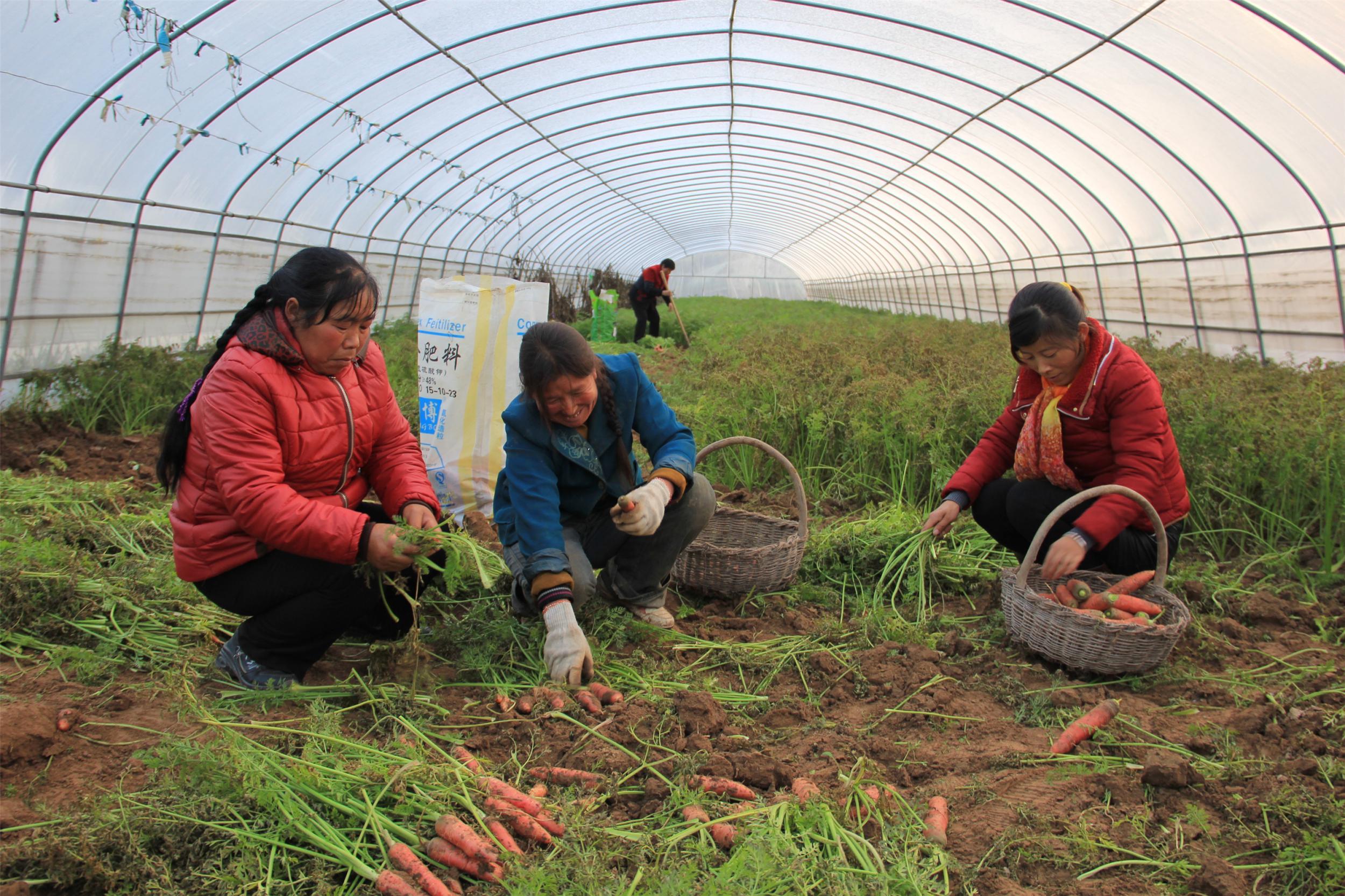 3万亩蔬菜喜获丰收.图为汭丰乡枣林子村农民正在收获成熟的红萝卜.
