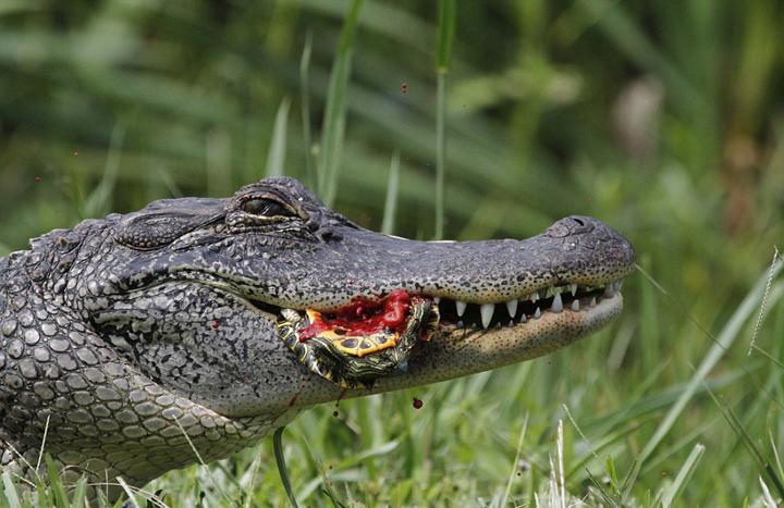 实拍饥饿短吻鳄吞食乌龟和蛇(图)-鳄鱼-每日甘肃-旅游