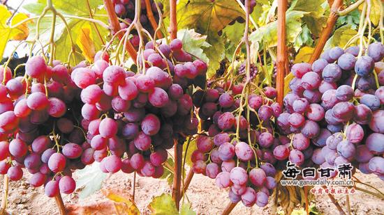 永登万亩红提葡萄红了-红提葡萄|产业-每日甘肃-甘肃
