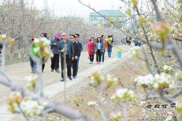 图片新闻:景泰县万亩梨园梨花盛开引游人观赏