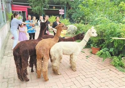临夏市东郊公园动物园引进四只南美州智利羊驼