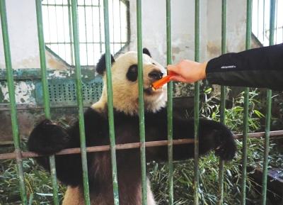 兰州动物园熊猫相关图片推荐