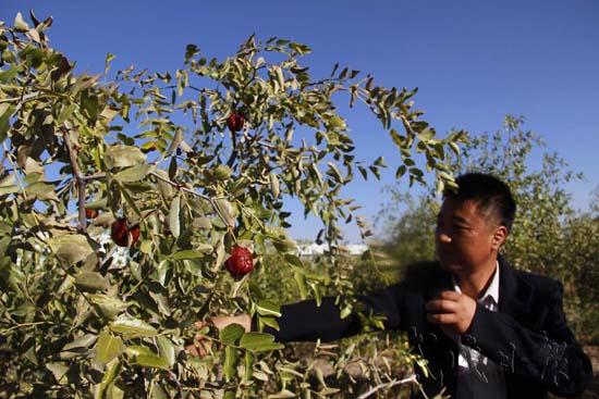 武威特色林果业_民勤积极发展特色林果业和设施农牧业