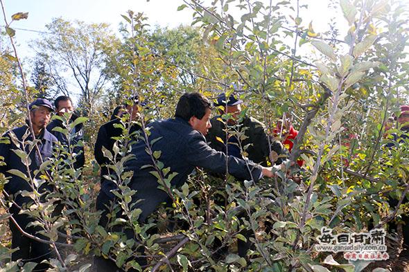 崇信县邀请高级农艺师为果农开展苹果树剪枝培训(图)