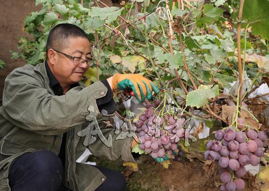 武威葡萄园红提葡萄进入盛产期(图)