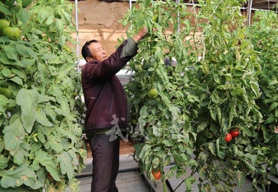 武威古浪县西靖镇圆梦新村农户依靠种植西红柿增收