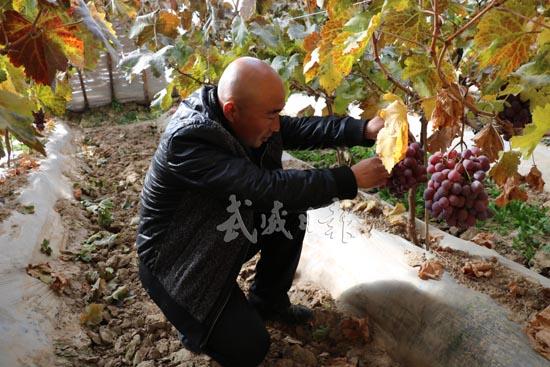 武威凉州区古城镇加大对红提葡萄产业设施建设支持力度