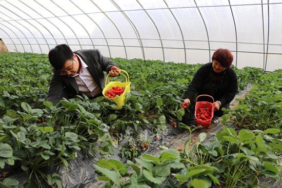 武威凉州区高坝镇蜻蜓村观光采摘园的草莓成熟上市