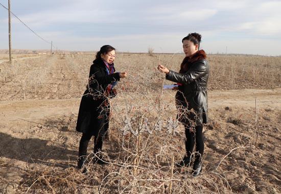 武威古浪县民权乡台子村万亩枸杞种植基地规模扩大