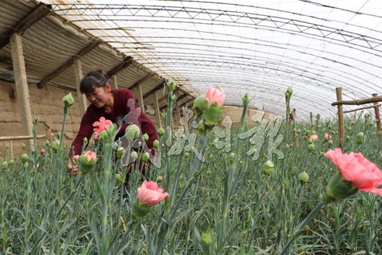 武威凉州区张义镇农户种植康乃馨效益可观