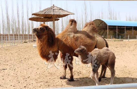 """国家林业局甘肃濒危动物保护中心喜添""""驼宝宝"""""""