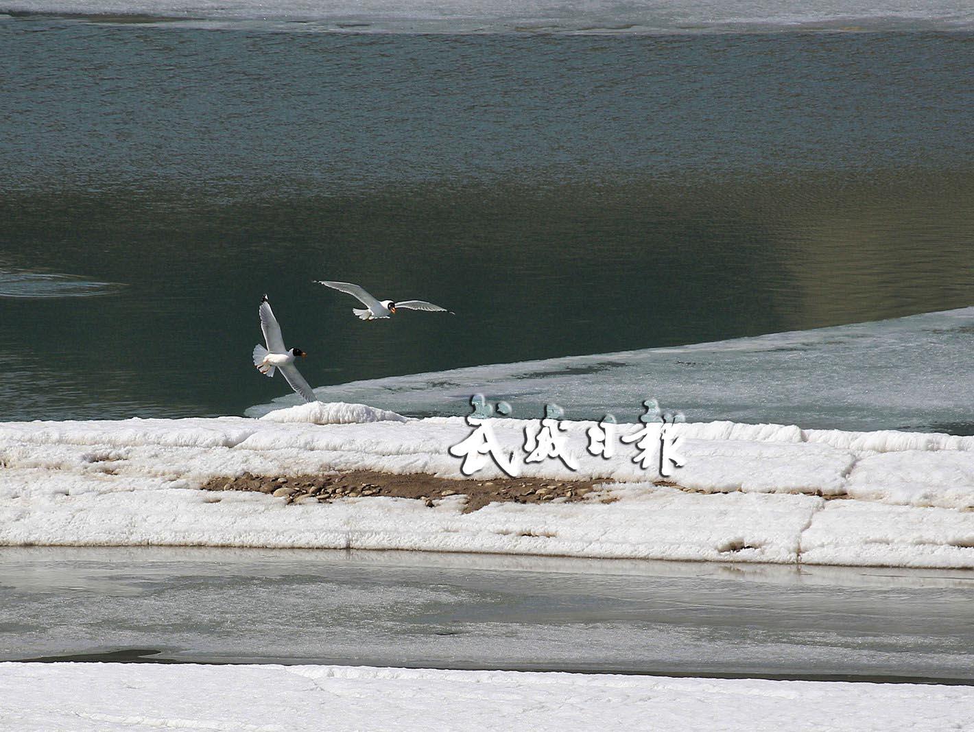 武威凉州:数十只候鸟飞临南营水库觅食栖息