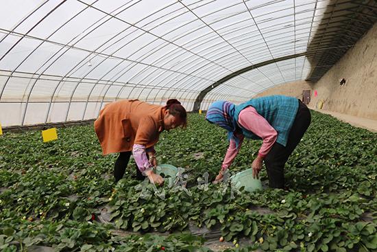 武威凉州区永昌镇农民在流转的土地上务工