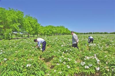 镇原县建成的牡丹栽植示范点