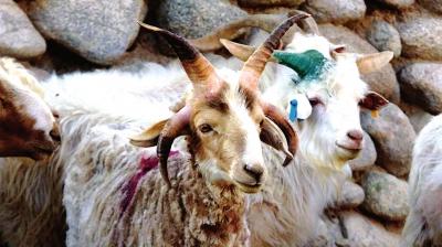 肃北:种公羊长了四只角