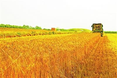 宁县:44.96万亩小麦开始收割