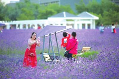 金昌:紫金花开引客来