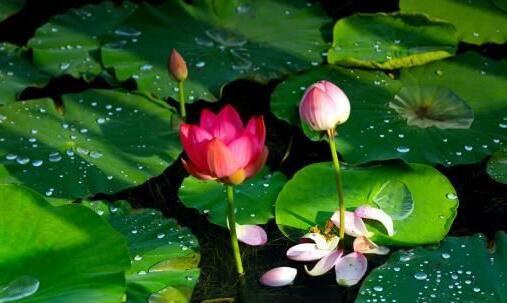 甘肃戈壁湿地雨后荷花分外美