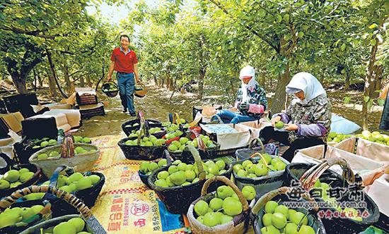 张掖早酥梨远销北广上以及东南亚