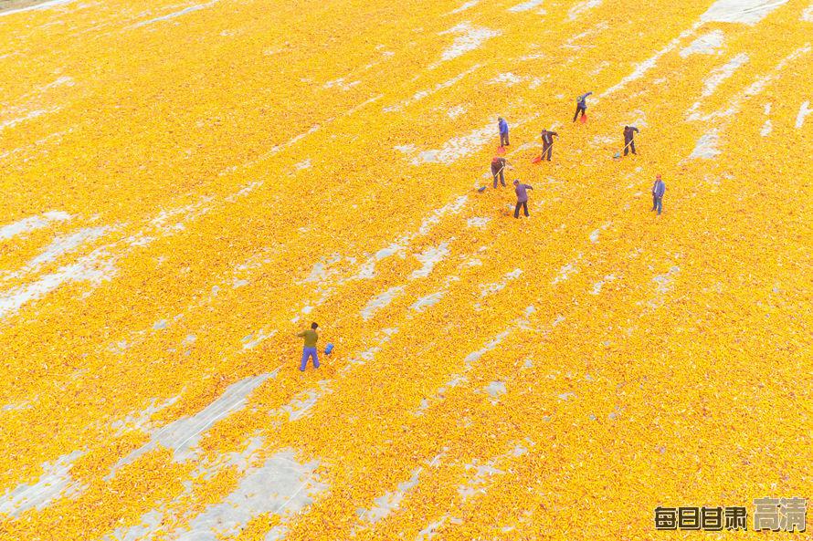 张掖百万亩制种玉米忙收获(组图)