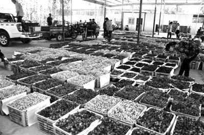 敦煌万亩葡萄喜获丰收(图)
