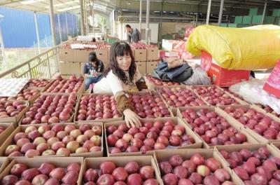 礼县苹果吸引全国各地客商前来收购