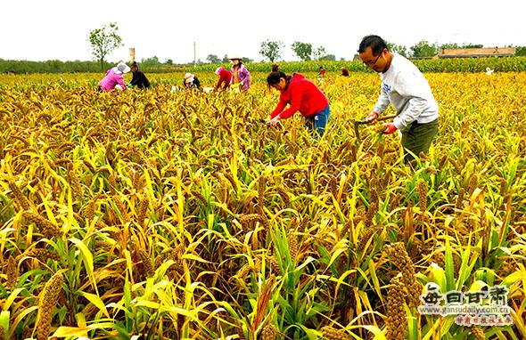 庆阳:谷子熟了 农民乐了