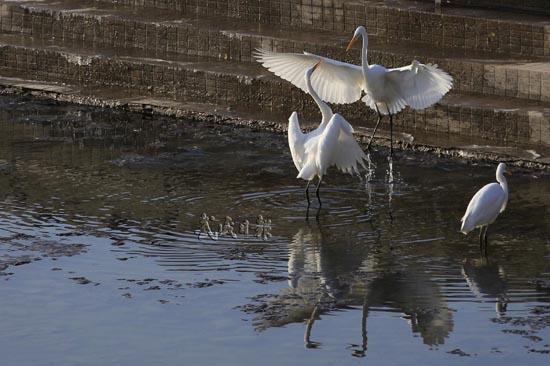 武威天马湖迎来候鸟