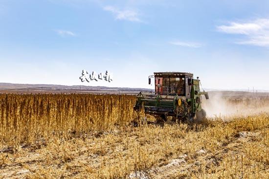 天祝县南阳山片种植藜麦喜获丰收