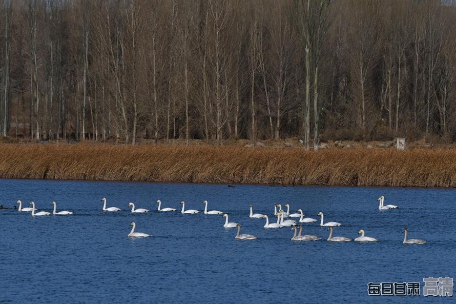 张掖黑河湿地天鹅悠然越冬