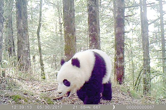 白水江保护区拍摄到野生大熊猫