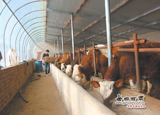 会宁县肉牛养殖成增收主导产业
