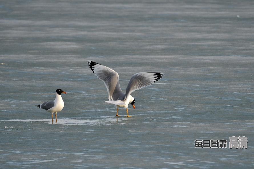 张掖黑河湿地迎来最佳观鸟期