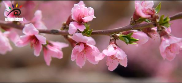 [微短片]又是一年桃花开