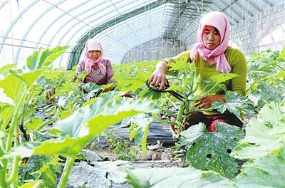 临泽县旭君生态农业发展公司工人在日光温室内为西葫芦整枝打秧