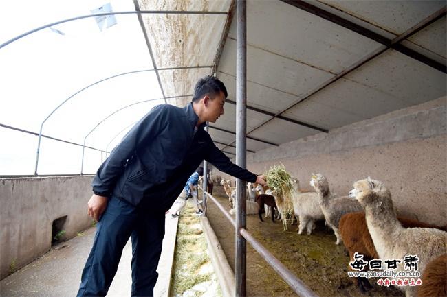 羊驼开启特色养殖新模式