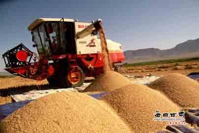 甘州区5.5万亩小麦丰收