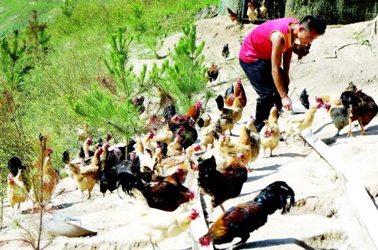 养鸡走出致富路