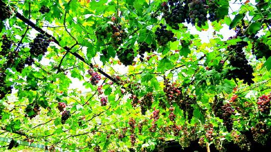 舟曲:大川的葡萄熟了