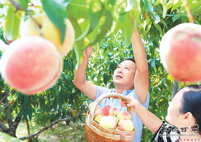 村民种植的桃树喜获丰收
