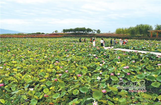 【图片新闻】张掖国家湿地公园荷花婀娜多姿 吸引游客前来拍摄