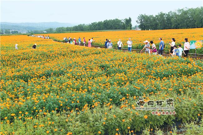 游客在华亭草滩村万寿菊种植基地赏花