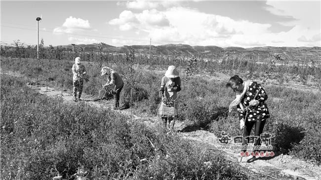 【图片新闻】静宁果树果品研究所职工对新栽苹果树开展拉枝压干