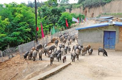 合水县大力发展野猪养殖
