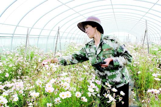 安定:大棚里的小菊花致富增收全靠它