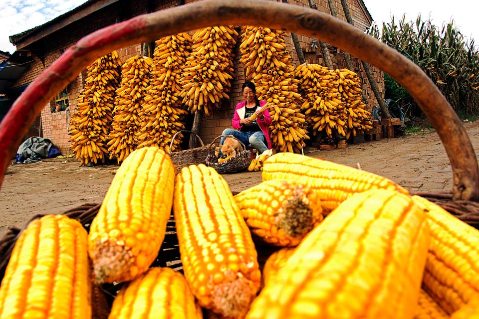 甘肃宁县18.3万亩全膜双垄沟播玉米喜获丰收