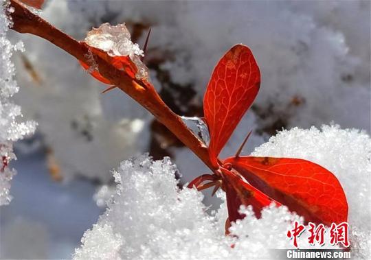 红叶映白雪,分外妖娆。 郎文瑞 摄