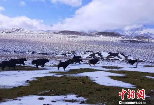 雪后,牦牛悠然自得觅食。 郎文瑞 摄